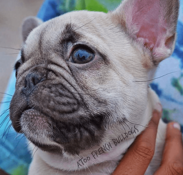 Texas French Bulldog Breeders Blue Chocolate Lilac Pied